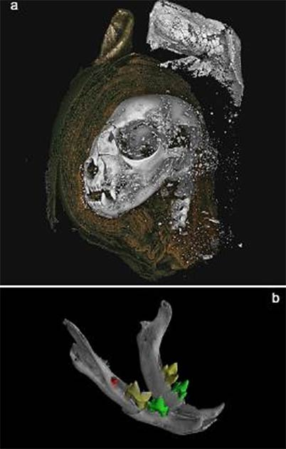 3D renderings from micro CT data. A) mummified cat head rendered from tomography data. A digital dissection, removing wrappings on left side of the head, revealing bone, and higher attenuating material used to stiffen the external wrapping of the ears. B) Cat head mandible, with segmented teeth, revealing unerupted mandibular first molars. (Nature)
