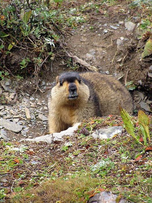 A Himalayan marmot. (Christopher J. Fynn/CC BY SA 3.0) It is entirely plausible that Herodotus, who relied on translators, ended up with an error in translation and mistook 'mountain ant' for 'marmot,'