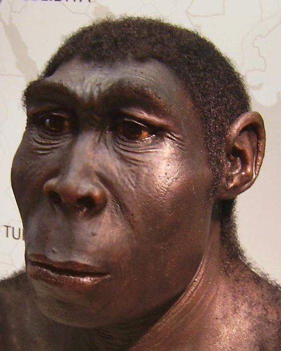 A reconstruction of a Homo erectus, exhibit at the Westfälisches Landesmuseum, Herne, Germany. (CC BY-SA 2.5)