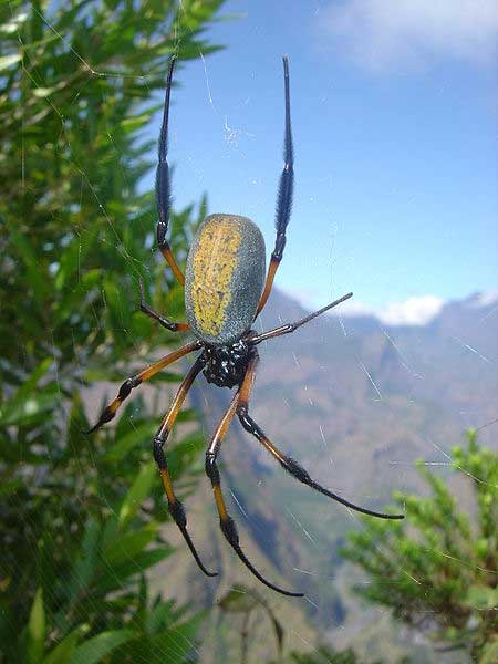 A red-legged golden orb-web spider (Nephila inaurata). Taken near Dos d'Âne, Réunion Island, on the crest from the Roche vert bouteille.