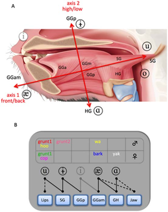 Anatomical structure of the baboon tongue and muscle recruitment during 'vowel-like segments' (VLS) production. VLS refers to any continuous section within a vocalization containing a consistent and detectable formant structure.