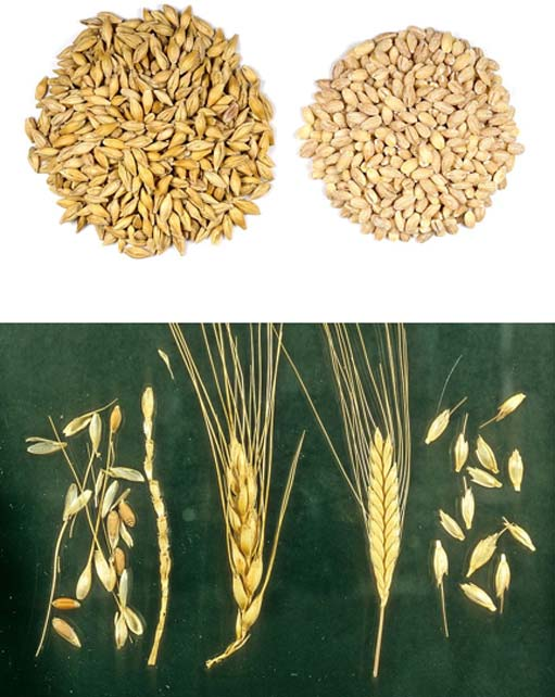 Ancient Egyptian woman urinated on barley (top) (Sanjay Acharya/CC BY SA 4.0) and wheat (bottom) (Mark Nesbitt/CC BY SA 4.0) grains to detect pregnancy.