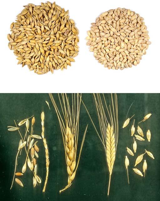 Ancient Egyptian woman urinated on barley (top) (Sanjay Acharya/CC BY SA 4.0) and wheat (bottom) (Mark Nesbitt/CC BY SA 4.0) grains to detect pregnancy.
