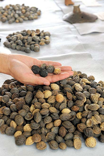 Ancient peach pits found at the Makimuku archeological site in Sakurai, Nara Prefecture. (Asahi Shimbun file photo)