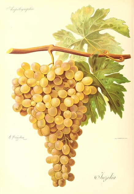 Picture of Ansonica / Inzolia grapes to show representation of the grapes used in the ancient Greek winemaking process. (Alexis Kreyder / Public domain)