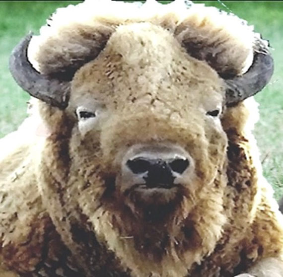 "In Memory of ""Arizona"" – Courtesy of the White Bison Association"
