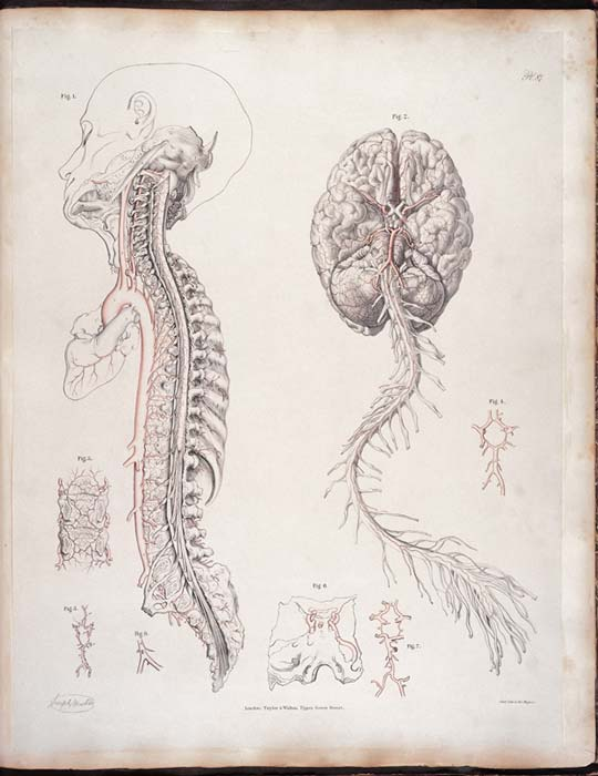 Arteries at base of brain and spine.