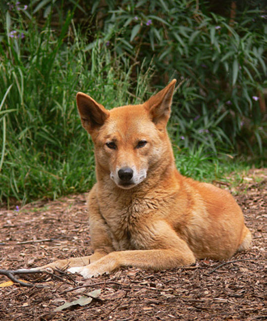 An Australian Dingo, Canis lupus dingo, taken at a wildlife sanctuary/rescue center in South-eastern Australia.