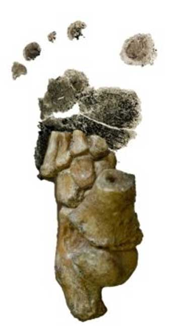 This is the 3.32 million-year-old Australopithecus afarensis foot from Dikika, Ethiopia, superimposed over a footprint from a human toddler. (Jeremy DeSilva)