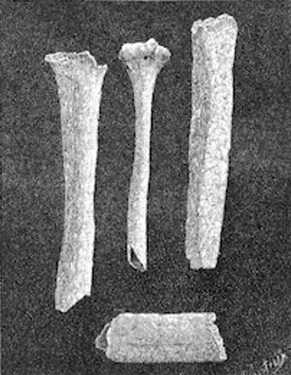 Bones of the Giant of Castelnau in La Nature, 1890. Courtesy of  Wikipedia.org