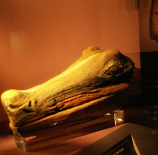 A Calusa alligator head carved out of wood, excavated at Key Marco in 1895, on display at the Florida Museum of Natural History.