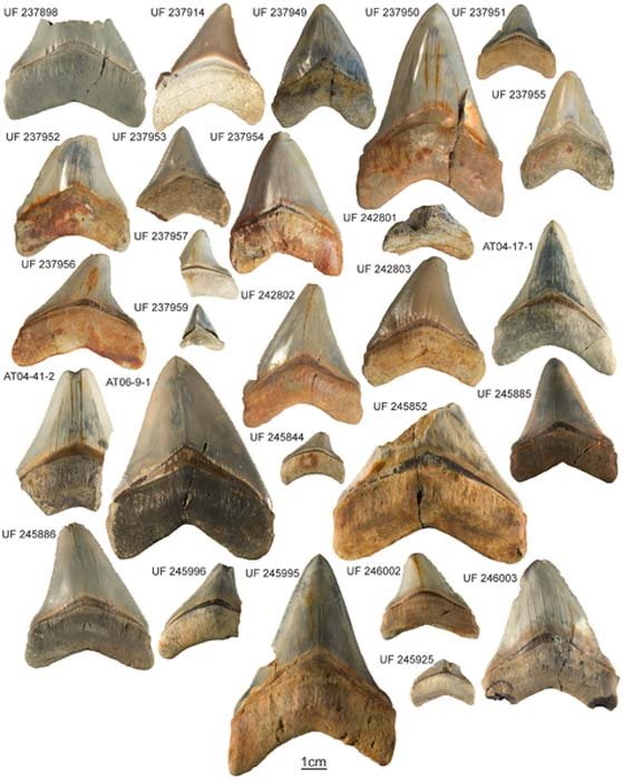 Carcharocles megalodon collection from the Gatun Formation. Specimens and their respective collection numbers. One specimen (CTPA 6671) was not available to photograph.