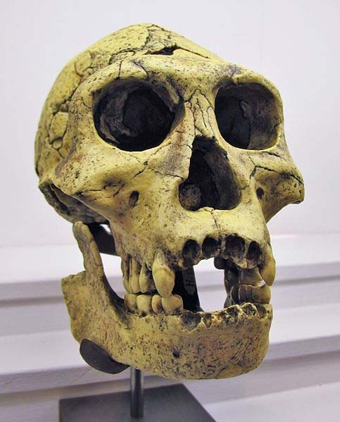 Casting of a Homo Georgicus skull, found at Dmanisi, Georgia.