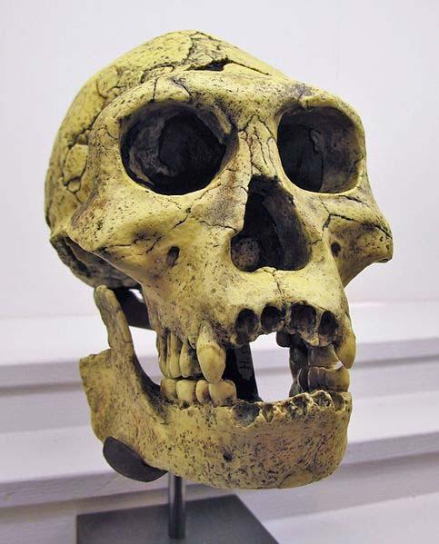 Casting of a Homo Georgicus skull, found at Dmanisi, Georgia.