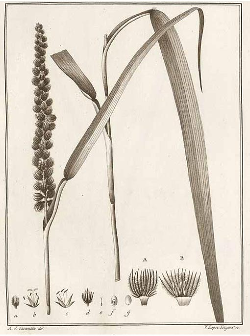 Cenchrus grass
