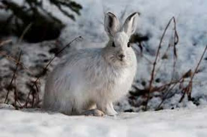Common snowshoe hare (Public Domain)
