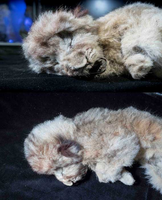 Complete restoration works on the baby cave lions, preserved superbly in the Siberian permafrost, reveals a sensational level of pelt and hair preservation. (Siberian Times)