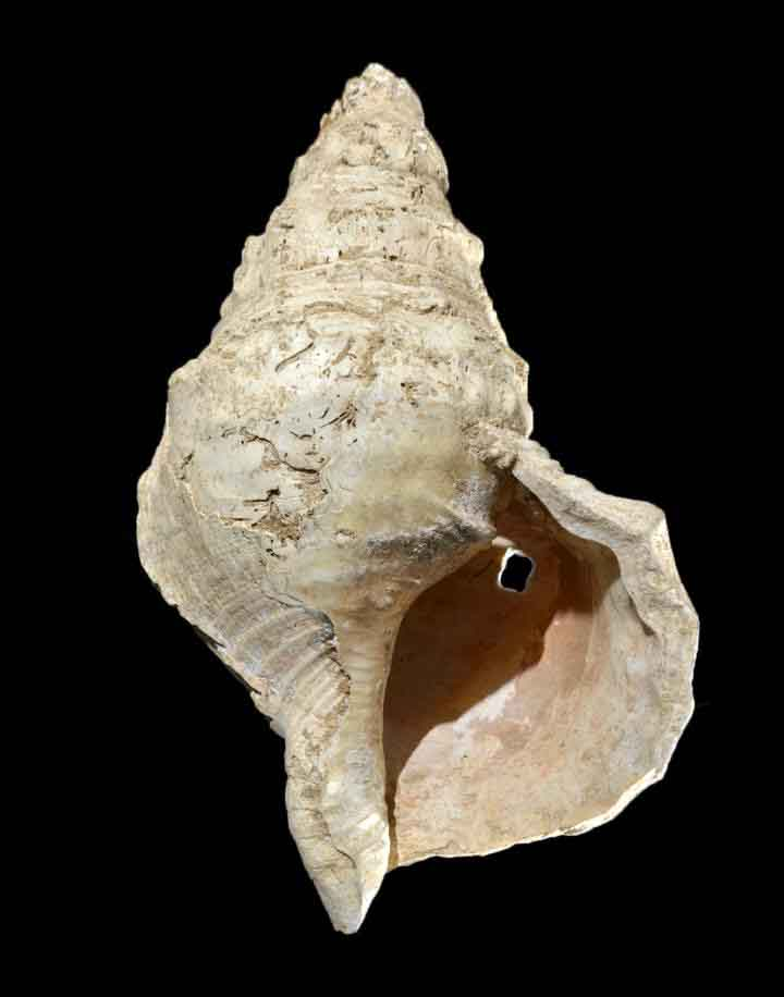 The prehistoric musical instrument that looks like a normal conch shell but isn't.