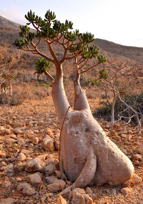Desert Rose Bottle Tree, Socotra Island