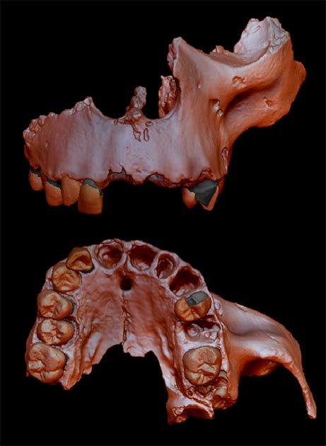 Digital reconstruction of specimen ATD6-69 from the Homo antecessor collection. Computerized microtomography (micro-CT) techniques were used to perform this reconstruction. Credit: Prof. Laura Martín-Francés