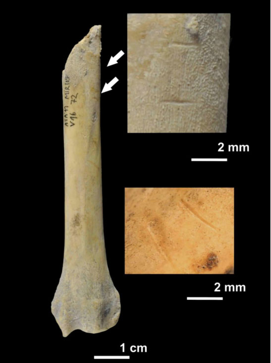 Dog radius fragment with cut marks from el Mirador Cave