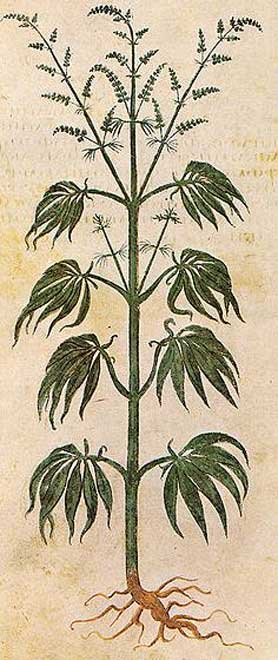Drawing of Cannabis sativa from Vienna Dioscurides, 512 AD.