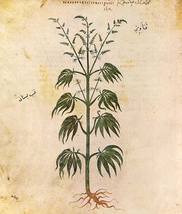 Drawing of Cannabis sativa from Vienna Dioscurides, 512 AD. (Public Domain)