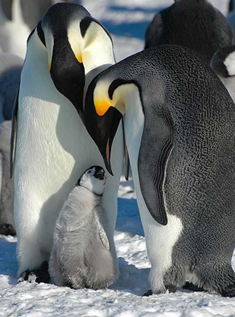 Early penguins were huge, even bigger than Emperor Penguins. (Public Domain)