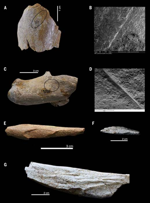 Demonstration of hominin activity from Ain Boucherit's faunal assemblages. (A and B) Section mark on a medium-sized bovid humeral shaft (A) with detail of the SEM image (B). (C and D) Cutmarked Equid Calcaneum (C) with detailed image of SEM uptake (D). (E) Hammerstone medium-sized long bone. (F) bone flake. (G) Equid tibia with cortical percussion notch. (Sahnouni, M. et al.)