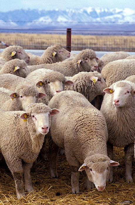 Flock of sheep. (Public Domain)