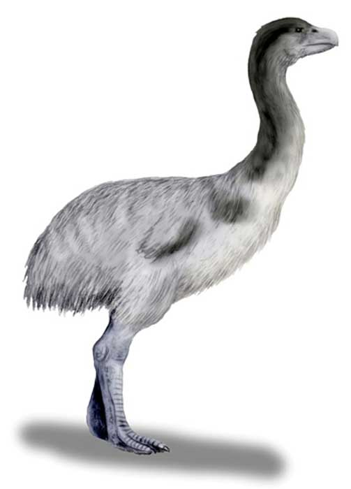 Genyornis newtoni, a thunderbird from the pleistocene of Australia