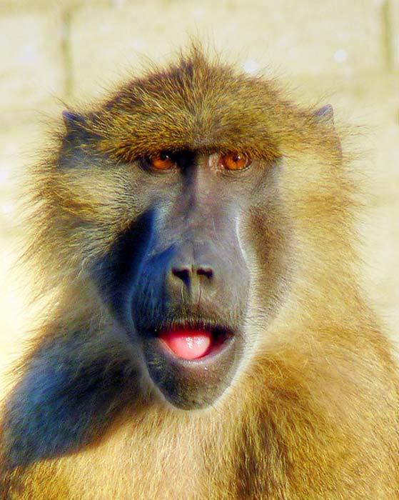 Guinea Baboon Portrait.