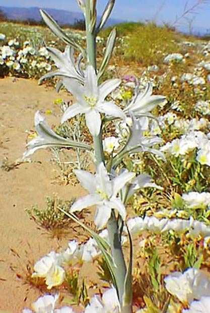 Hesperocallis undulata — Desert Lily.