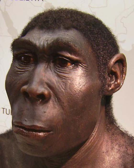 A reconstruction of a Homo erectus, exhibit at the Westfälisches Landesmuseum, Herne, Germany.
