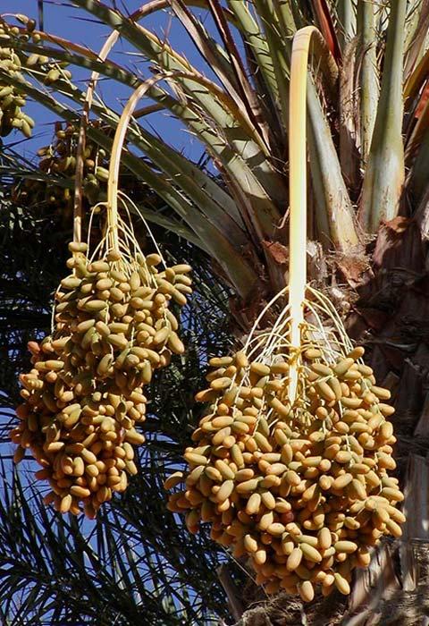 Judean date palm.