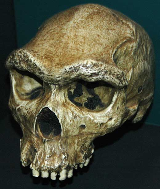 Kabwe 1, Homo heidelbergensis fossil hominid (Pleistocene, 125-300 ka; lead-zinc mine at Broken Hill, Kabwe, central Zambia. (CC BY 2.0)