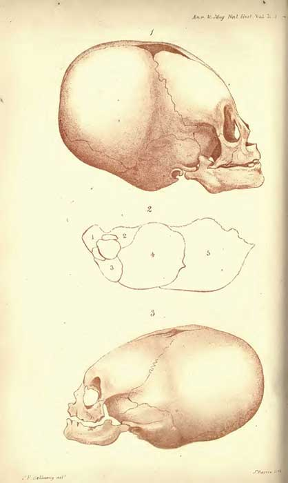 Lithographs of elongated skulls by J. Basire.