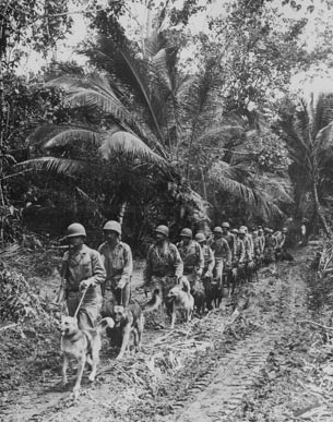 Marine Raiders take scouting and messenger dogs to the frontlines on Bougainville, late 1943.