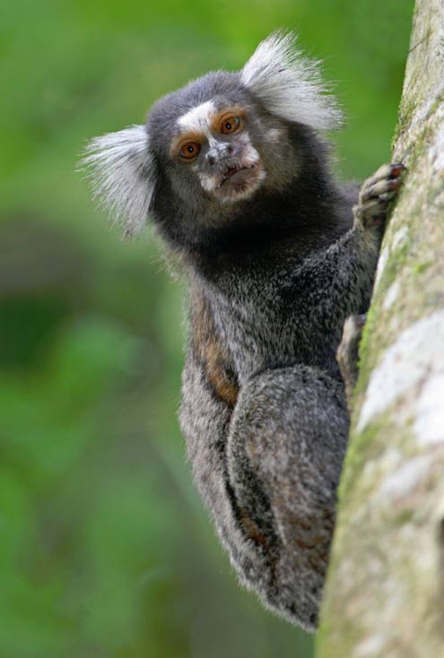 Primates without opposable thumbs includes the Marmoset... definitely no relationship to Bigfoot.