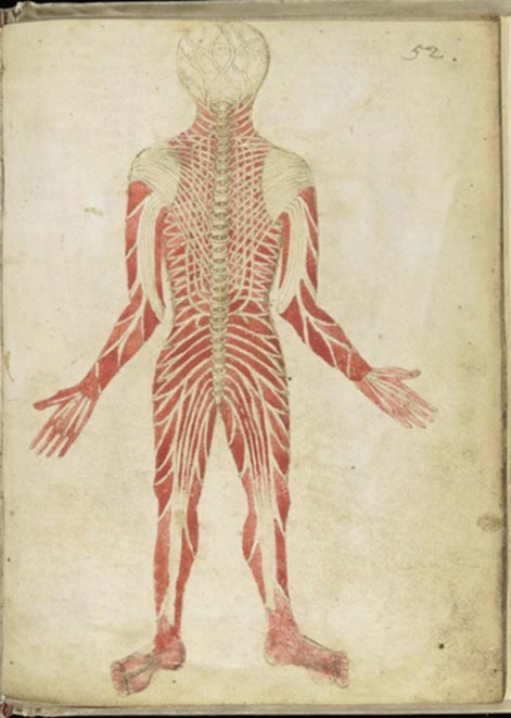 'Muscles Man,' showing the muscles and spine, back view, on an anatomical diagram. Mid-15th century Anathomia, (English) Claudius (Pseudo) Galen.