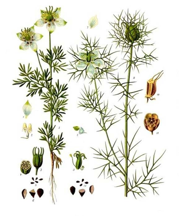 The Nigella Sativa plant, flower and seeds.