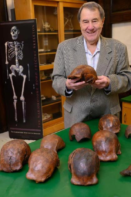 Palaeoanthropologist Russell L. Ciochon of the University of Iowa in Iowa City with a collection of Homo erectus fossil replicas from Ngandong. (Tim Schoon/University of Iowa)