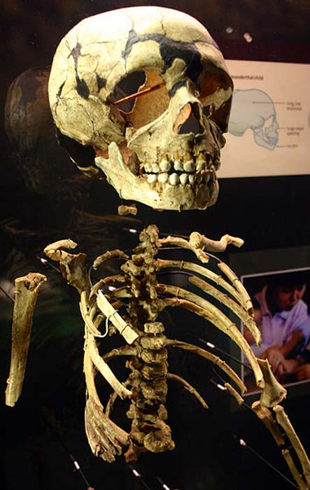 Partial skeleton of a Neanderthal child.