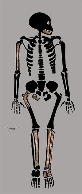 Partial skeleton of the Homo naledi juvenile. (Bolter et al. 2020)