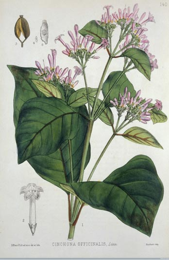 An engraving of a Quinine plant, 1880.