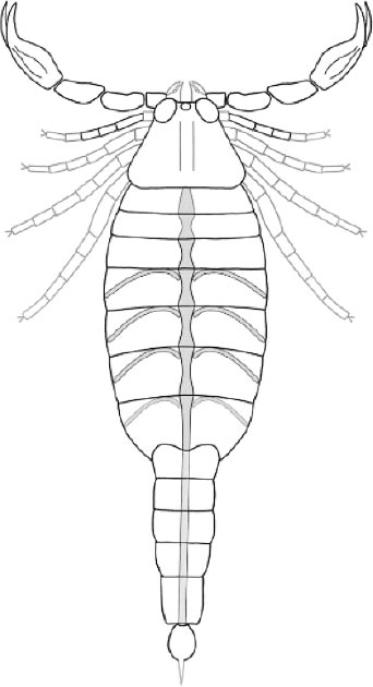 Reconstruction of Parioscorpio venator gen. et sp. nov. Structures outlined in grey are inferred based on Proscorpius osborni. Structures highlighted with grey infilling are the preserved elements of the pulmonary-cardiovascular system. (Wendruff et al., Scientific Reports, 2020)