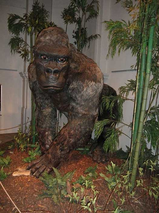 """Restoration of Gigantopithecus blacki as appeared at """"Gigants"""" exhibition in the Czech Republic, 2014."""