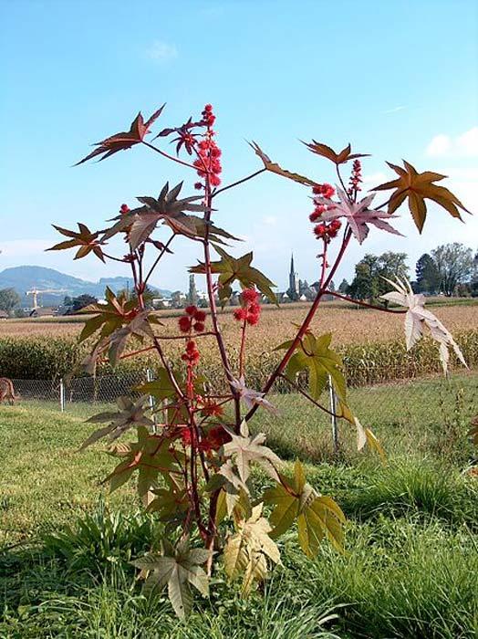 Ricinus communis.