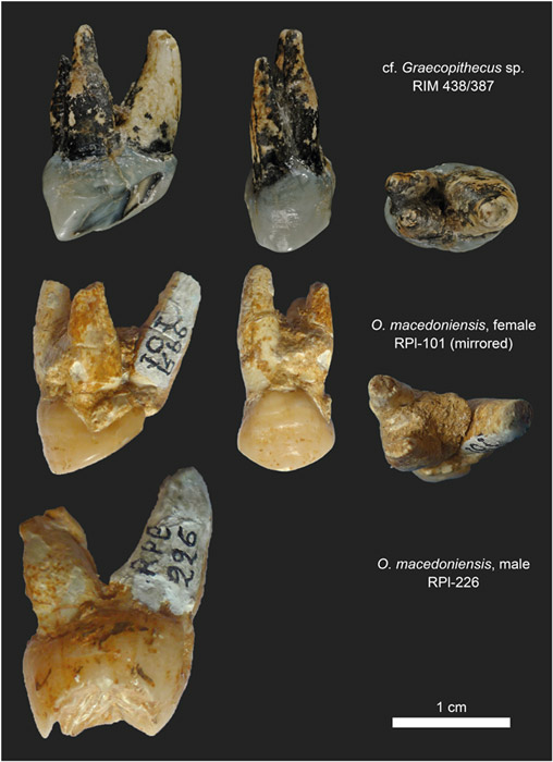 Root morphology in P4 of cf. Graecopithecus sp. and O. macedoniensis.