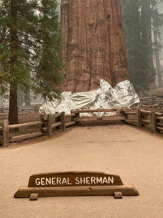 The General Sherman Tree, the world's largest tree by volume, is wrapped in a fireproof blanket on Thursday Sept. 16, 2021 at Sequoia National Park during the KNP Complex Fire. (Sequoia and Kings Canyon National Parks)